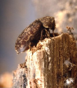 An image showing an insect on a piece of timber which will cause deterioration of the wood
