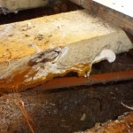 An image showing dry rot fruiting body visible to underside of timber floor joist