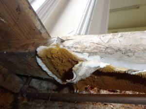 An image showing True dry rot fruiting body (fleshy bracket with rust coloured spores) visible to underside of timber floor joist